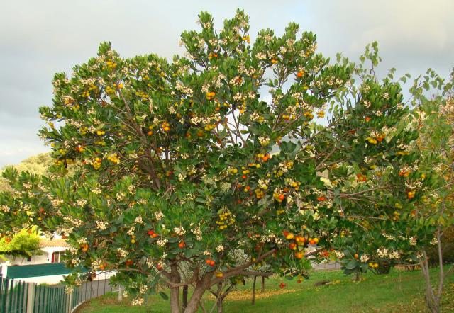 http://img86.xooimage.com/files/9/4/1/arbousier-fruits-39aa68d.jpg